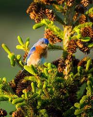 Bluebird in a spruce tree (snapify) Tags: trees plants bird birds animal animals wildlife aves creatures creature spruce animalia coniferous zoology easternbluebird sialiasialis whitespruce avain undomesticatedanimals