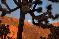 Moonrise, Joshua Tree National Park, California (klauslang99) Tags: park usa moon tree nature joshua national moonrise northamerica naturalworld klauslang southewest