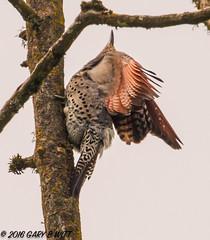 Northern Flicker (orencobirder) Tags: birds woodpeckers flickrexport largebirds