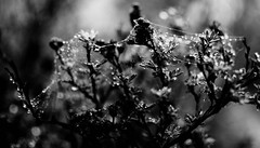 Nature's Dream Catchers (karmakerosene) Tags: blackandwhite bw nature monochrome rain weather contrast 35mm spring nikon dof bokeh spiderweb depthoffield cobweb raindrops springtime d7000 nikond7000