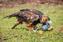 Chook The Black Breasted Buzzard-10 (Quick Shot Photos) Tags: birds canon hawk au australia victoria owl swift ballarat birdsofprey birdinflight minersrest canoncollective