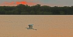 Dawn Flight (Rosewood Street Photo) Tags: bird sunrise key largo floridakeys