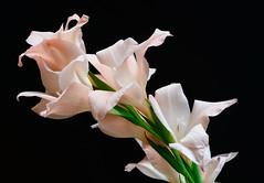 Pale Salmon Day Lily (jhambright52) Tags: macro m macroflowers doublefantasy salmondaylily