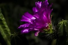 Flor de catus (seguicollar) Tags: flor flower cactus jardn jardnbotnico virginiasegu rama verde follaje planta vegetal vegetacin nikond5200 morada