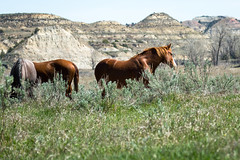 Wild Horses (Bill_Oswald) Tags: animals wildlife northdakota wildhorses photog theodorerooseveltnationalpark otherkeywords northdakota2016
