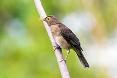 Spectacled Thrush (Kamal50) Tags: nature canon wings background wildlife caribbean avifauna westindies spectacledthrushturdusnudigenisbareeyedthrush
