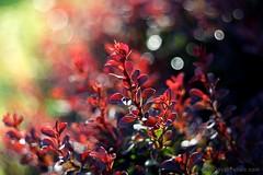IMG_1274s21FAD (Foto_A_Day) Tags: vintage lens bokeh foliage 55mm exa exakta steinheil f19 bokehlicious quinon