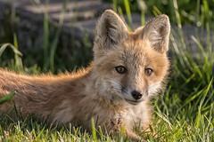 Heartbreaker (Tracey Rennie) Tags: wild cub alberta fox kit goldenhour cochrane