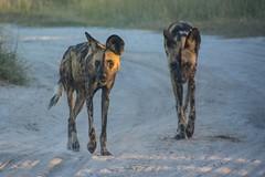 Wild Dogs Alpha Pair (Barbara Evans 7) Tags: wild game dogs evans pair reserve 7 barbara botswana alpha moremi