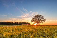 Rapeseed ant the burning tree (bhansen.kiel) Tags: sunset red sky sun tree rot nature yellow clouds forest canon germany landscape deutschland sonnenuntergang himmel sunny burning gelb wald raps baum schleswigholstein rapeseed sunstar sonnenstern