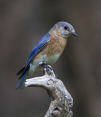 Eastern Bluebird, male (AllHarts) Tags: ngc memphistn backyardbirds maleeasternbluebird naturesspirit naturescarousel thesunshinegroup