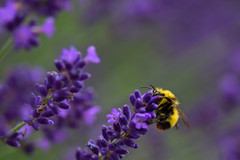 a touch of yellow (simo m.) Tags: flowers blue plant yellow purple bee lavander brightcolors sigma105mm