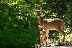 Caprioli - Roe deers - Explored 6/21/16 (Attilio Piselli) Tags: backlight woods wildlife roedeer capreoluscapreolus capriolo