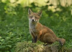 Posing Fox Cub (kban2011) Tags: