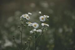 Tratinica/Daisy (Kuzz1984) Tags: daisy tratinica