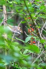 Squirrel with Blackberry 01 (Jim Dollar) Tags: sc squirrel blackberry southcarolina zenglen indianland jimdollar canon6d scenesfrommyhammock