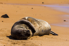 monkseal3Jun17-16 (divindk) Tags: hawaii hawaiianislands kauai neomonachusschauinslandi beach cute endangeredspecies hawaiianmonkseal lazy marine marinemammal monkseal seal sunshine whiskers