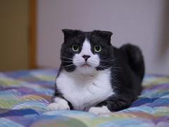 Sachi (Long Sleeper) Tags: portrait pet animal cat scottishfold tuxedocat sachi dmcgx1 lumixg425mmf17asph