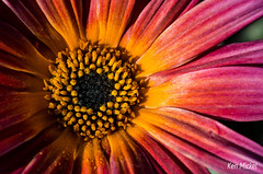 African Daisy (Ken Mickel) Tags: flowers plants flower nature colors gardens closeup garden photography flora blossom blossoms daisy africandaisy upclose