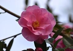 Camellia (careth@2012) Tags: camellia