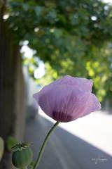 Mohn (Wilhelm v. Kallmnz) Tags: rosa mohn sonydscrx100