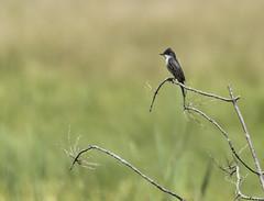 Flycatcher on branch (Wandering Cameraman Photography) Tags: wild bird nature vermont wildlife d750 weybridge flycatcher 400mm
