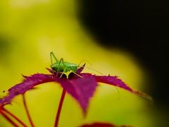 The clash of the green polka dot jumper. (von8itchfisk) Tags: macro green nature bug garden insect outside clash cricket polkadots jumper grasshopper mygarden mysuit battisford vonbitchfisk