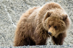 Young grizzly bear (Richard McGuire) Tags: wildlife yukon alaskahighway hainesjunction grizzlybear