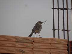 DSC05001 Sabi-Do-Campo (familiapratta) Tags: bird nature birds brasil iso100 sony natureza pssaro aves pssaros novaodessa novaodessasp hx100v dschx100v