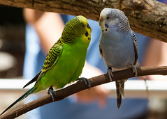 So, what are we going to do this weekend? (Irina1010) Tags: birds parakeets colorful green yellow blue conversation zooatlanta canon