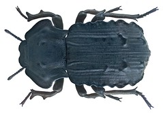 Anomalipus heraldicus Gerstaecker, 1871 (urjsa) Tags: africa insect kenya beetle afrika insekt kenia kfer coleoptera kaefer tenebrionidae taxonomy:order=coleoptera taxonomy:family=tenebrionidae geo:country=kenya anomalipus taxonomy:genus=anomalipus heraldicus anomalipusheraldicus taxonomy:binomial=anomalipusheraldicus taxonomy:species=heraldicus
