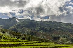 Terraced rice paddies (Pet licule) Tags: field rice paddy vietnam cai ta lao sapa phin laocai terasse paddies terraced taphin