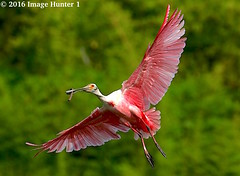 Roseate Spoonbill / Nest Maintenance - Jefferson Island, Louisiana (Image Hunter 1) Tags: pink green bird nature flying wings louisiana branch nest wildlife flight feathers breeding wingspan roseatespoonbill wingspread canoneos7dmkii