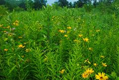 Meadow (wackybadger) Tags: grass wisconsinstatenaturalarea nikon nikond60 nikon1855mmf3556gafsvr ratibidapinnata wisconsin meadow yellowconeflower sna346 buffalocounty yellow trempealeaurivermeadowsna flower