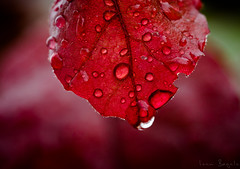Red Leaf (i.begala) Tags: light red macro nature beautiful rain leaf colorful dof natural bokeh drop shallow tamron 90mm