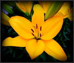 Lily (dimaruss34) Tags: newyork flower brooklyn image dmitriyfomenko