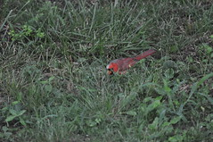 DSC_0037 (Gary Storts) Tags: cardinal gynandromorph gynadromorph orninthology birdwatching birds cardinalis northerncardinal cardinaliscardinalis