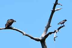 The Crow better go.... (all one thing) Tags: sky tree nature birds crow osprey hww wingwednesday thecrowbettergo