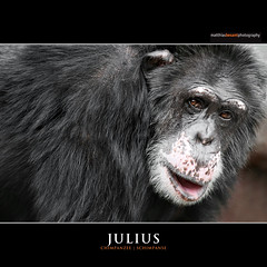JULIUS (Matthias Besant) Tags: africa orange eye look animal animals mammal monkey tiere eyes looking african ape afrika monkeys pan chimpanzee augen mammals auge apes fell blick tier affen affe schimpanse chimpanzees pantroglodytes primat schauen catarrhini hominidae afrikanischer blicken primaten saeugetier saeugetiere afrikanisch afrikanisches oldworldmonkeys menschenaffen afrikanische oldworldmonkey hominoidea trockennasenaffe commonchimpanzee robustchimpanzee altweltaffen commonchimpanzees gemeinerschimpanse menschenartige altweltaffe affenfell menschenartig affenblick gemeineschimpansen gewoehnlicheschimpansen gewoehnlicherschimpanse matthiasbesant robustchimpanzees