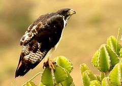 Augur Buzzard - Buse augure (imm.) (charbonjoh) Tags: ngorongorocrater tanzania augurbuzzard buteoaugur buseaugure largebirds