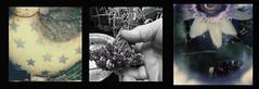 stars on thars.... (bunchadogs & susan) Tags: passiflora polaroidsx70 triptch metalchicken fortunacalifornia purplehoyaflowers iphonewithprovokecameraapp polaroidi1withcloseuplensputtiedon