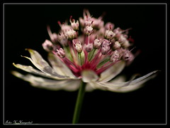 Astrantia major on black (K. Haagestad) Tags: flower macro floral bloom astrantiamajor