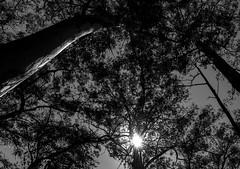 Trees (Marcos Jerlich) Tags: trees light nature park ibirapuerapark naturallight bw blackandwhite monochrome saopaulo city ibirapuera brazil contrast texture lightroom canont5i canon canon700d marcosjerlich flickr tree