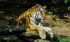 (Light Echoes) Tags: sony a6000 2016 summer august philadelphiazoo zoo philadelphia mammel feline bigcat tiger