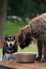 Water Break (Dgreen94) Tags: water bowl dog dogs pup pups puppy thirsty drink drinking cute adorable aww