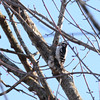 Downy Woodpecker (turn off your computer and go outside) Tags: 2016 albanywildlifearea birdsofminnesotaandwisconsinpage196 greencounty march picoidespubescens wi wisconsin bird clearday coldday critter downywoodpecker earlyspring firstdayofspring identified nature outdoors spring woodpecker