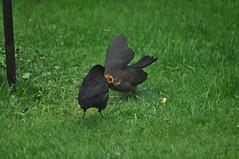 """I'm starving!"" (Latimer's Paradox) Tags: birds gardenbirds blackbirds juvenileblackbird birdsfeeding turdusmerula turdidae"