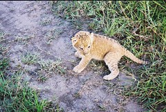 Such a Tiny Wee Soul - Bless it ! (Mara 1) Tags: africa kenya masai mara wildlife animal cul lion road green grass legs tail face paws outdoors