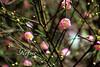 梅花 Plum Flowers (ReFinism) Tags: canon 650d eos650d taiwan nature plant plumflower flower