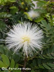 Very rare White Powder Puff, Calliandra, El Salvador (ssspnnn) Tags: calliandra fabaceae caliandra escovinha cepillo calistemon samsung spnunes snunes spereiranunes sansalvador elsalvador sanbenito flor whitepowderpuff